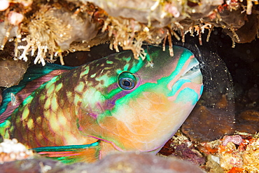 A close look at night of Chameleon Parrotfish (Scarus chameleon) sleeping in a mucus bubble that is secreted from large glands in the gill cavity and protects them from parasites, Fiji