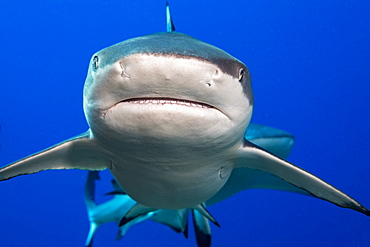 Blacktip Reef Shark (Carcharhinus melanopterus), Yap, Micronesia