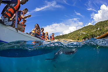 Tourists above on a canoe and a Whale Shark (Rhiniodon typus) below with it's mouth open. This is the world's largest species of fish, Oslob, Philippines