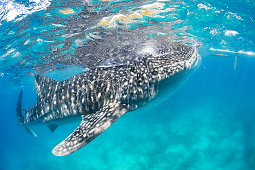 A Whale Shark (Rhiniodon typus) with it's mouth open, filter feeding at the surface. This is the world's largest species of fish, Oslob, Philippines