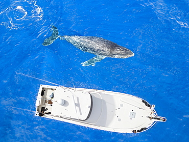 An aerial view of a Humpback Whale (Megaptera novaeangliae) surfacing beside a vessel, Lanai City, Lanai, Hawaii, United States of America