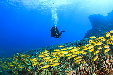 Scuba diver with a large school of Bluestripe Snappers (Lutjanus kasmira) swimming over healthy reef, Lanai City, Lanai, Hawaii, United States of America