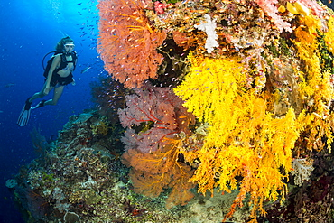 Diver along a drop off covered with gorgonian and alcyonarian coral, Fiji