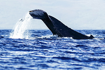 Humpback whale (Megaptera novaeangliae) tail slapping, Lahaina, Maui, Hawaii, United States of America