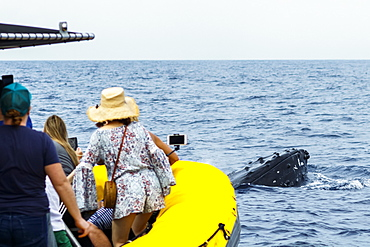 Tourists view Humpback whale (Megaptera novaeangliae) from whale watching boat, Lahaina, Maui, Hawaii, United States of America