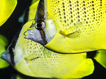 Milletseed Butterflyfish (Chaetodon citrinellus) in a tight school off Kauai, Hawaii, during the spring, Kauai, Hawaii, United States of America