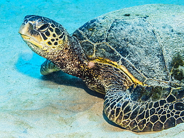 Green Sea Turtle (Chelonia mydas) resting on a sandy bottom adjacent to Kauai, Hawaii, in the spring, Kauai, Hawaii, United States of America