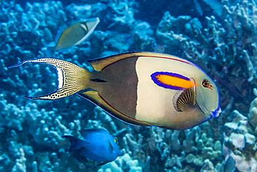 Orangeband Surgeonfish (Acanthurus olivaceus) that was photographed while diving the Kona Coast, Island of Hawaii, Hawaii, United States of America