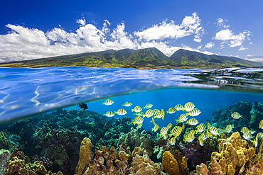 Split view of West Maui Mountains with reef fish, Maui, Hawaii, United States of America