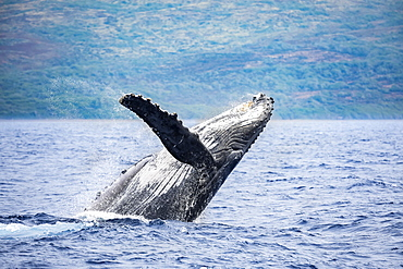 The island of Lanai is in the background of this breaching Humpback whale (Megaptera novaeangliae), Lanai, Hawaii, United States of America