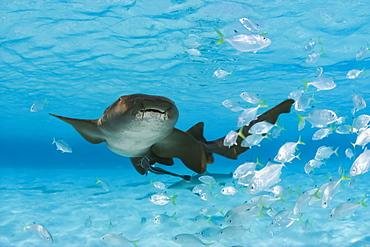Nurse shark (Ginglymostoma cirratum) with a school of juvenile jacks, Bahamas
