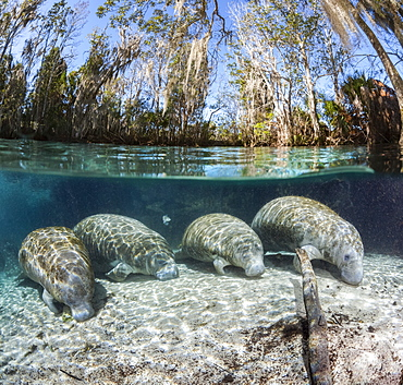 A split image of four endangered Florida Manatee (Trichechus manatus latirostris) resting on the sandy bottom at Three Sisters Spring. The Florida Manatee is a subspecies of the West Indian Manatee, Crystal River, Florida, United States of America