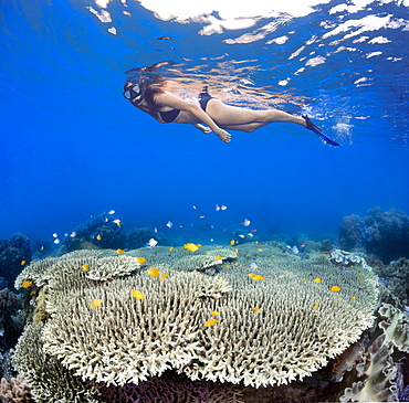A girl snorkeling over table coral and reef fish off Apo Island, Philippines