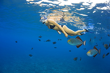 A young woman free diving with black triggerfish (Melichthys niger), Molokini Marine Preserve off the island of Maui, Maui, Hawaii, United States of America