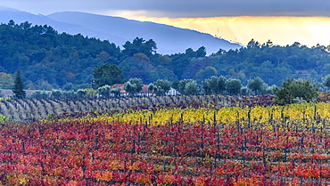 Colourful, autumn coloured foliage on crops in Douro Valley, Peso da Regua, Vila Real, Portugal