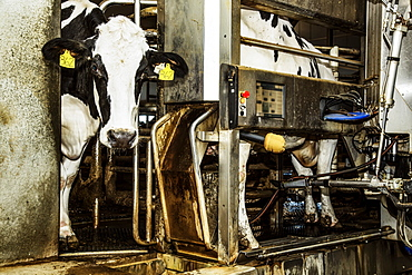 Holstein cow looking out of a milking stall waiting to be milked using automated milking equipment on a robotic dairy farm, North of Edmonton, Alberta, Canada