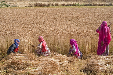 Woman harvesting wheat in the northern region of Jowai, Jowai, Meghalaya, India