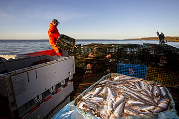 Lobster fisherman with herring bait. Digby Neck, Bay of Fundy, Nova Scotia, Canada