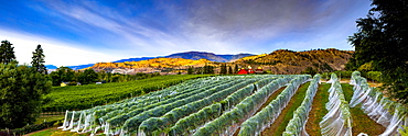 Vineyard and Cascade Mountains at dusk, vines covered with plastic, Okanagan Valley, British Columbia, Canada