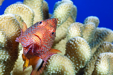 Typical of this family the Blackside hawkfish (Paracirrhites forsteri) has thick spines in it's pectoral fins to aid staying in place on it's coral perch, Hawaii, United States of America
