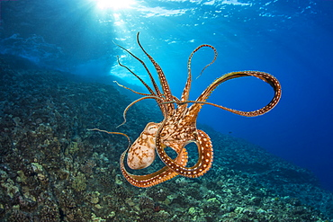Day octopus (Octopus cyanea) in mid-water, Hawaii, United States of America