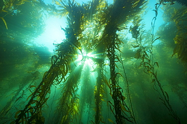 Sunlight streaming through a forest of giant kelp (Macrocystis pyrifera), off Santa Barbara Island, California, United States of America