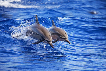Two Spinner dolphins (Stenella longirostris) off the island of Lanai, Lanai, Hawaii, United States of America