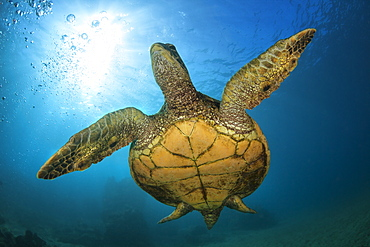An underwater close-up view of a Hawaiian Green Sea Turtle (Chelonia mydas), Makena, Maui, Hawaii, United States of America