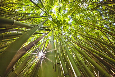 View upward toward treetops in a bamboo forest in the West Maui Mountains, Maui, Hawaii, United States of America