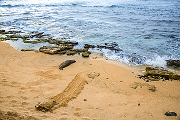 Encounters with Hawaiian monk seals (Monachus schauinslandi) (endemic and endangered) are few and far between. Here a monk seal shares a patch of sand with a Green sea turtle (Chelonia mydas), also an endangered species, off Maui, Maui, Hawaii, United States of America