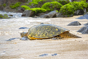 A Green sea turtle (Chelonia mydas), an endangered species, makes it's way from the beach back into the Pacific Ocean, Maui, Hawaii, United States of America