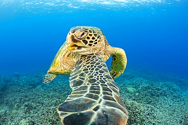 This Green sea turtle (Chelonia mydas), an endangered species, is rubbing it's chin on it's shoulder, Hawaii, United States of America
