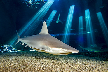 Although rarely seen in the ocean by divers, the Sandbar shark (Carcharhinus plumbeus) is likely the most numerous of all shark species found in Hawaii. This individual was photographed at the Maui Ocean Center Aquarium, Maui, Hawii, United States of America