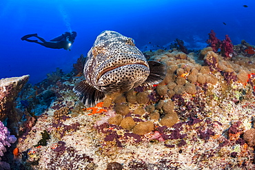 The Malabar grouper (Epinephelus malabaricus) is one of the largest and most common cod found on coastal reefs. It can weight over 300 lbs and reach 4 feet in length, Fiji