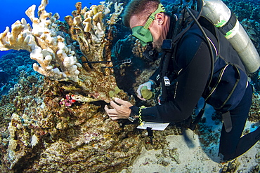 A research diver from the MOC Marine Institute glues broken coral back together at Molokini Marine Preserve off the island of Maui, Hawaii. The coral is tagged and will be monitored, Maui, Hawaii, United States of America