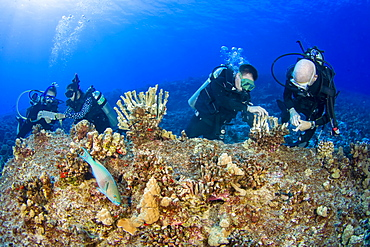 Research divers from the MOC Marine Institute glue broken coral heads back together and map out coral damage at Molokini Marine Preserve off the island of Maui, Hawaii. In the future, data from here will help to determine the health of Hawaii's reefs, Maui, Hawaii, United States of America