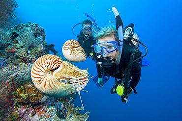 Chambered nautilus (Nautilus pompilius) and divers, Palau, Micronesia