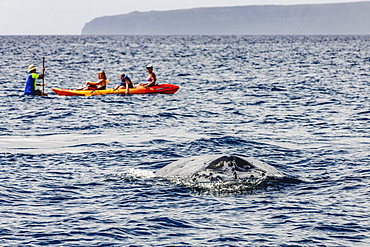 A Humpback Whale (Megaptera novaeangliae) slips below the surface at Maui not far from onlookers on a paddleboard and a sea kayak near Maui, Hawaii, United States of America