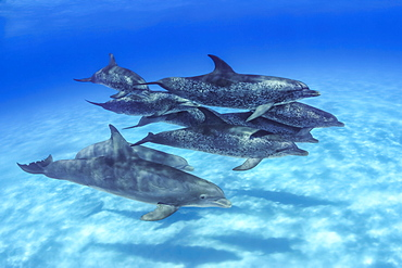 Mr. Fleetham spent an afternoon photographing these Atlantic Spotted Dolphin (Stenella plagiodon). During the several hours in the water a group of Atlantic Bottlenose Dolphin (Tursiops truncates) joined the company for nearly an hour of inter-species exchange, Bahamas
