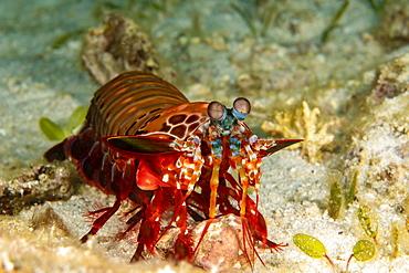 The Mantis shrimp (Odontodactylus scyllarus) is also known as a clown mantis shrimp and peacock mantis shrimp, Cebu, Philippines