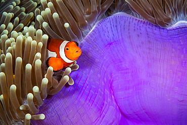 As you move east the western clown anemonefish (Amphiprion ocellaris), pictured here, is replaced with the eastern clown anemonefish (Amphiprion percula), Philippines