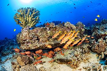 Hawaiian reef scene with soldierfish and goatfish, Hawaii, United States of America