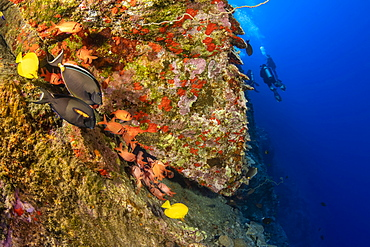 The Backwall at Molokini Marine Preserve drops down to 300 feet. Various reef fish stick close to a crevice here, Molokini, Maui, Hawaii, United States of America