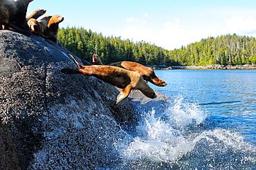Stellar sea lions, Canada, North America