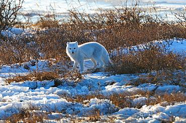 Arctic fox on ice, Wapusk National Park, Manitoba, Canada, North America