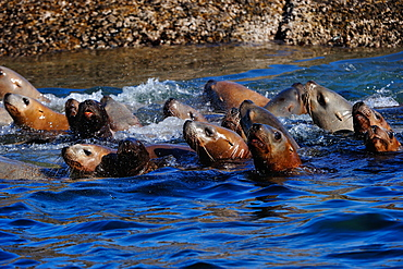 Sea lions on the Pacific Ocean in the Great Bear Rainforest, British Columbia, Canada, North America