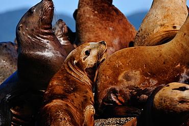 Sea lions in the Great Bear Rainforest, British Columbia, Canada, North America
