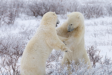 Polar bears sparring, Wapusk National Park, Manitoba, Canada, North America