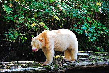 Spirit bear (Kermode bear), Great Bear Rainforest, British Columbia, Canada, North America