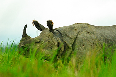 One horned rhinoceros in Kaziranga National Park, Assam, India, Asia